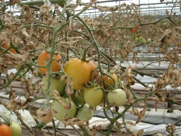 La resistencia a insecticidas dificulta el control de Tuta absoluta en tomate