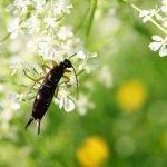 Arañas y tijeretas, los mejores candidatos como depredador de la mosca del olivo