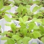 Bacterias en vez de fertilizantes para promover el crecimiento de las plantas