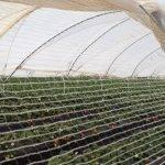 Los frutos rojos ocupan en Huelva 12.000 hectáreas