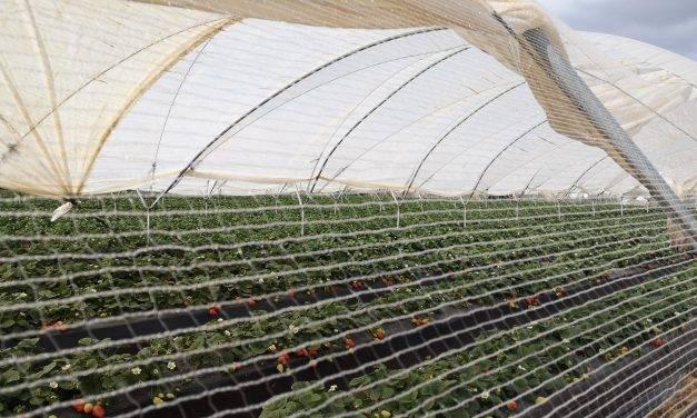 Las berries ocupan en Huelva 12.000 hectáreas