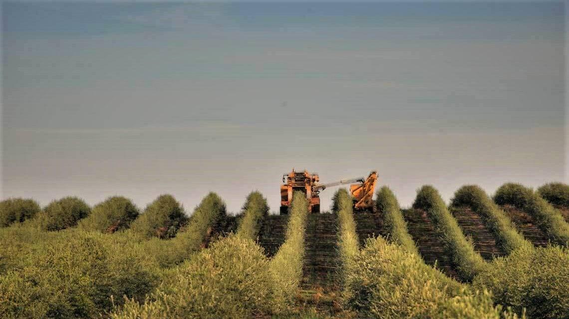 Variedades de olivo para cultivo superintensivo y Empeltre mejorado
