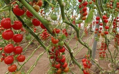 Semillas Fitó logra mayor sabor y producción en sus nuevas variedades de tomates del tipo cherry