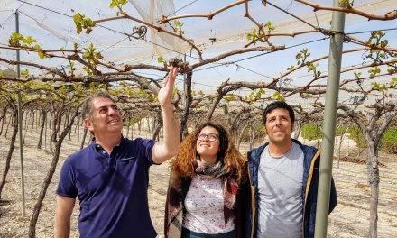Productores de uva de mesa cultivan sus propias variedades