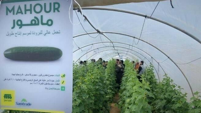 Mahour, la novedad de pepino para el mercado egipcio