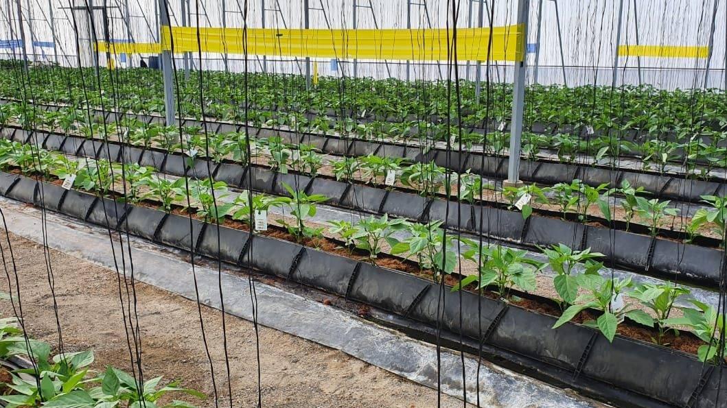 Biobest inicia programa de MIP para pimiento en la República Dominicana