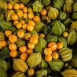 El INTA y la UBA de Argentina empiezan a estudiar la uchuva