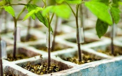 Silex, Tronix y Bandix son los portainjertos para tomate de Fitó