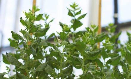 Se hace público el genoma de la planta biofactoría Nicotiana benthamiana para ayudar a combatir el COVID-19