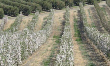 Portainjertos que controlan el vigor cambian el cultivo del almendro