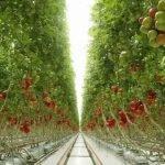 Proyecto para reutilizar agua y fertilizantes en cultivo de tomate hidropónico