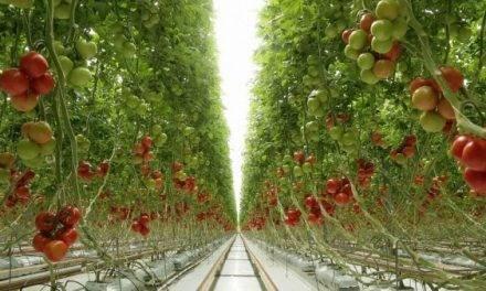 Fertilización a base de ácidos carboxílicos de bajo peso molecular en tomate