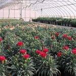 Limitar el fósforo al final del ciclo de crecimiento induce plantas mejores