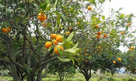 El ambiente y su efecto en la maduración interna del naranjo dulce