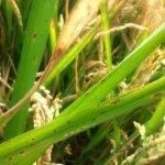El uso excesivo de fertilizantes fosfatados pone en peligro los cultivos de arroz