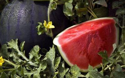 La variedad de sandía Rhiana es de Fitó