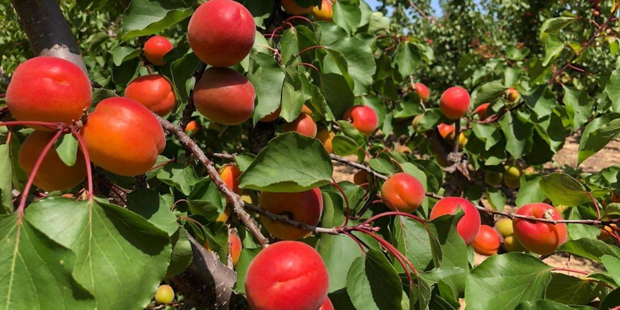 La fruta de hueso: retos y oportunidades desde Murcia