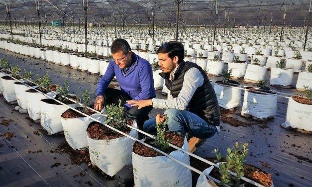 La hidroponía triunfa en el cultivo de arándano