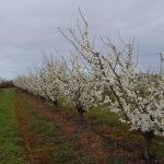 Los efectos positivos de disminuir el riego en ciertas etapas, bajo climas secos en el cultivo de ciruelo