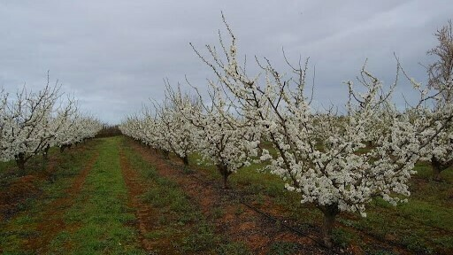 The positive effects of reducing irrigation at certain stages, under dry climates in the plum crop