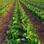 Uso de bioestimulantes en la agricultura intensiva