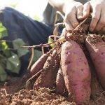 Actualidad del cultivo de boniato y experimento que mejora su rentabilidad