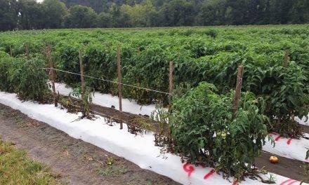 Cómo mantener a raya el patógeno vegetal Ralstonia  solanacearum