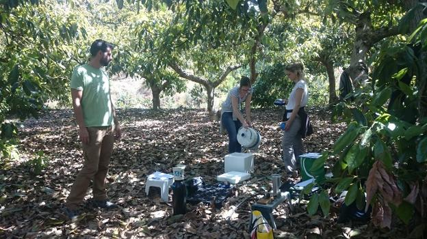 El aguacate en Andalucía es rentable aún en condiciones de riego subóptimo