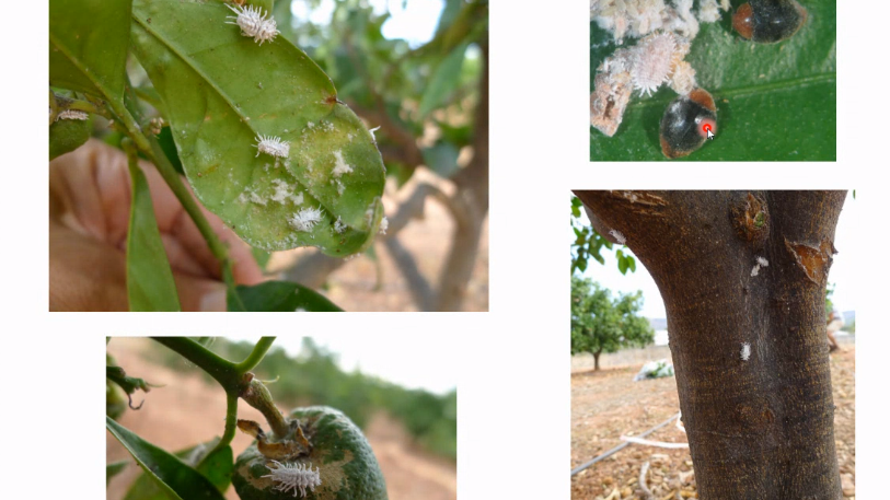 El cotonet de Sudáfrica, plaga reciente de los cítricos en España