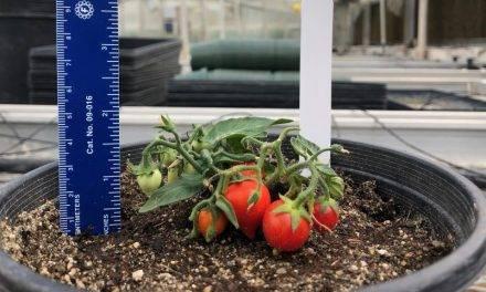 Cultivos espaciales, el tomate más pequeño del mundo