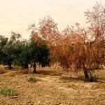 Verticilosis en olivo, el hongo no es el único enemigo