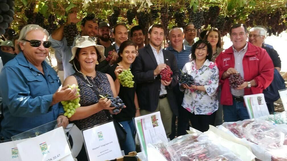 En Chile, presentan dos nuevas variedades de uva de mesa