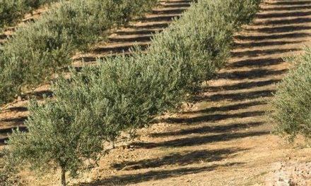Presentan una App móvil que controla el fertirriego en olivos