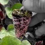 Prestop, el fungicida biológico de Massó