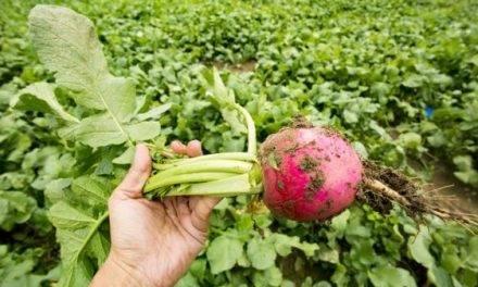 El rábano, un cultivo adaptado a superficies pobres