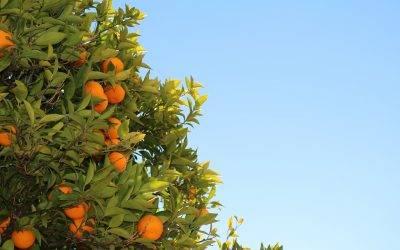 El proyecto GOCITRUS continúa su andadura para aportar  innovación y valor añadido al sector citrícola