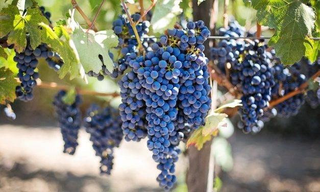 Descifrado el genoma de la filoxera que arrasó las viñas europeas en el siglo XIX
