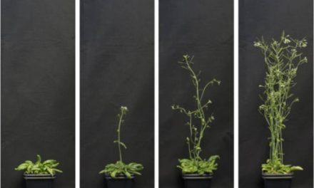 Investigadores del IBMCP desarrollan dos estrategias de regulación génica en plantas que permitirían decidir el momento de su floración o inducir su resistencia a la sequía