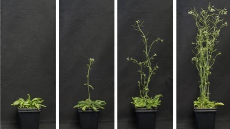 Investigan el momento de la floración y la inducción a resistir la sequía