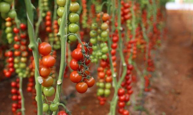 Transeius montdorensis en el control del ácaro del bronceado del tomate
