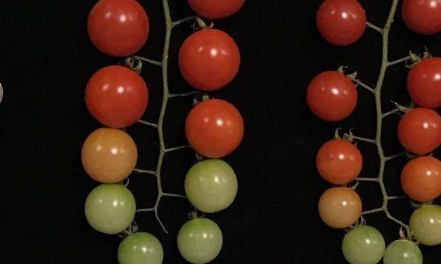 Descubrimiento de mutaciones genéticas en tomate