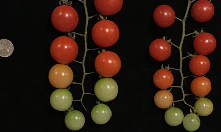 Discovery of genetic mutations in tomatoes, the key to further improvement