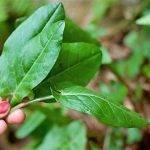 ¿Comeremos hojas de color amarillo o rojo?