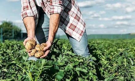 Desarrollan una herramienta que facilita el control de tizón tardío en patatas