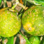 El IVIA confirma el control del vector del greening de los citricos