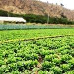 El Mar Menor, una fuente de nutrientes en la horticultura murciana