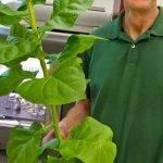 Una proteína de algas que podría mejorar rendimientos en cultivos