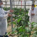 "Rijk Zwaan Ibérica presenta la primera variedad de berenjena ""Clean Leaf"""