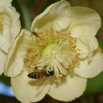 """Scientists are cracking the code to kiwifruit pollination success using a """"digital twin"""""""