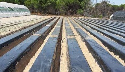 Ifapa recomienda el uso de plásticos TIF para reducir la dosis de fumigantes del suelo en explotaciones freseras